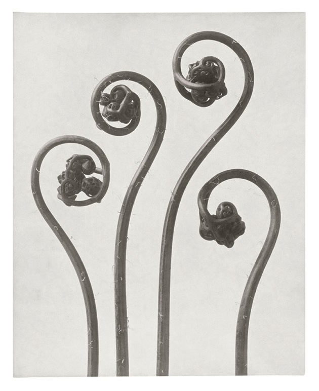 Adiantum pedatum Northern Maidenhair Fern Young Rolled-up Fronds n.d. Gelatin Silver Print 29.9 x 23.8cm