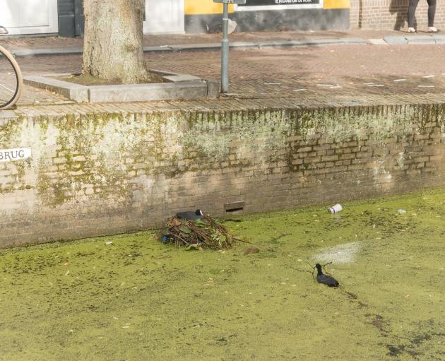 01-Delft - nesting coots-20170724-Delft-7475-Edit