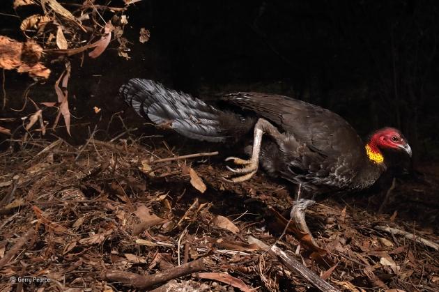 The incubator bird © Gerry Pearce - Wildlife Photographer of the Year